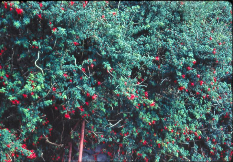 Fuschia in West Kerry 1968