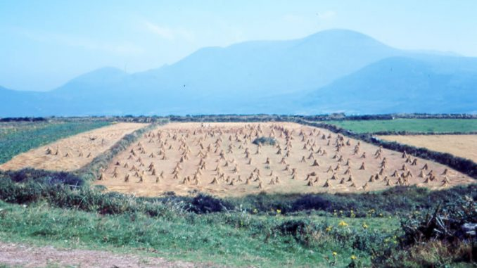 Field of Corn Dingle in 1968