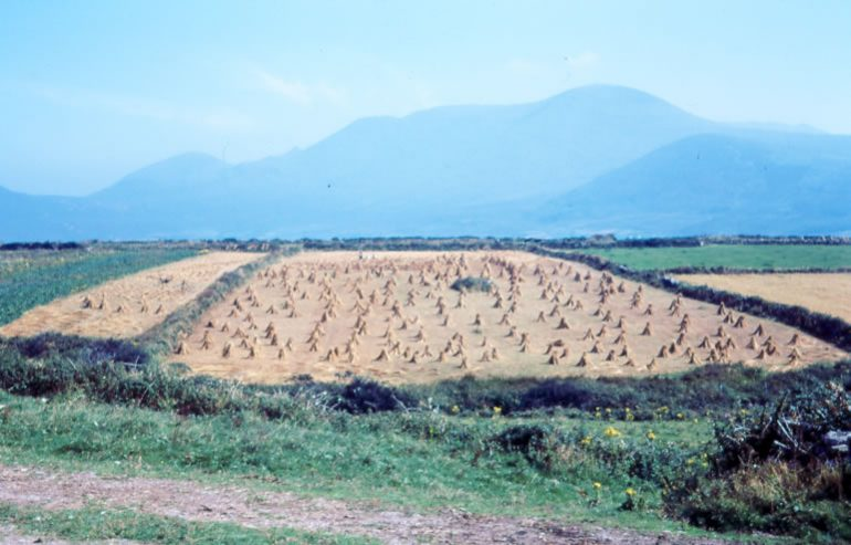 Begleys Field of Corn west of dingle 1968