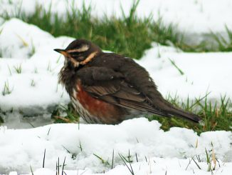 redwing in kerry snow