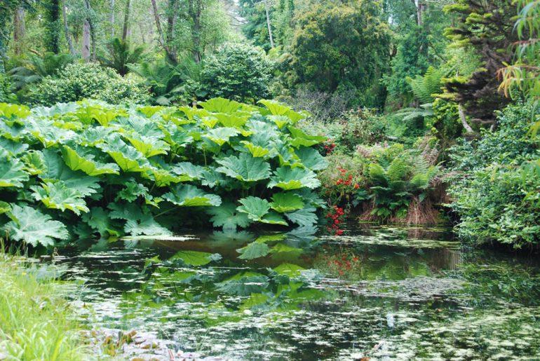 gunnera pond