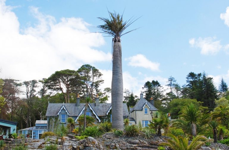 gigantic chilean wine palm